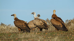 IMG_0479a (berserker170) Tags: buitre vulture eos 7d canon mountain montaña monfragüe invierno winter flickrexploreme