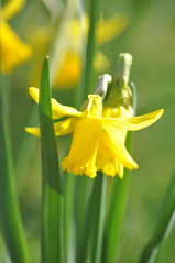 Pavilion_Gardens_0053 (Peter-Williams) Tags: uk flowers garden sussex countryside brighton crocus daffodil parkland carmelia paviliongardens
