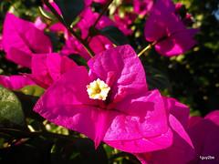 Bougainvillea buɡɐ̃ˈviʎ̟ɐ 2-28-2014 5-50-06 PM 2-28-2014 5-50-007 (1guy2be) Tags: pink white flower color green nature yellow closeup purple pentax florida fuchsia vine bougainvillea showy 1guy2be elizabethangus in2it2much richardpriceelliott homesanctuary elizabethangusbougainvillea bougainvilleaelizabethangus bugambiliasantarita bugambiliasantaritabougainvillea