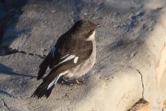Fiscal Flycatcher (andiwolfe) Tags: bird southafrica campground westerncape dehoopnaturereserve fieldseason fiscalflycatcher sigelussilens laidlers