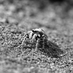 Jump! (@noutyboy (Instagram)) Tags: holland macro nature netherlands monochrome wall digital canon insect eos spider is jump eyes spin nederland thenetherlands natuur 100mm f90 l jumper 28 ogen f28 nieuwegein muur 550 springspin nout 550d detaills ketelaar jumpspider canon100mm28lismacro eos550d noutyboy