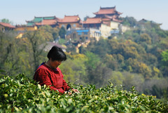 tea-picking-3 () Tags: china wuxi jiangsu chinesetea  teapicking