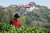 tea-picking-3 (湖光虾影) Tags: china wuxi jiangsu chinesetea 无锡 teapicking 茶叶 中国茶 采茶 斗山 大浮