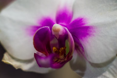 orchid passport picture (JonathanEme) Tags: wild orchid flower macro up closeup 50mm nikon close 28mm micro wildflower upclose d3200