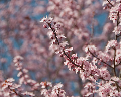 and good morning to you (lydiafairy) Tags: pink flowers blue tree sunshine rural cherry happy spring bright blossom bokeh good pastel backroads cherrytree pinkblossoms weeklychallenge feelingallthegoodfeelings