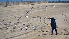 Airborne Food (MTSOfan) Tags: beach senior birds feeding pigeons laughinggulls