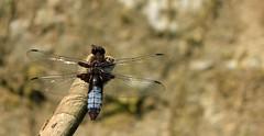 parked Dragonfly ;) (- Gothic -) Tags: macro nature insect wings dragonfly natura ali insetti libellula invernizzi andreainvernizzi fotografinewitaliangeneration macroenaturaripresadavicino canon550d