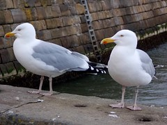 Harbour Seagulls (Deb Simpkins) Tags: sea nature birds wall spring wings nikon harbour wildlife seagull pair yorkshire feathers whitby coolpix beaks 2014 l810