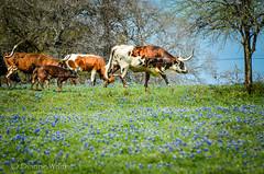 Truly Texas (xTexAnne) Tags: animal fence landscape cow texas cattle bluebonnet longhorn nikond7000 diannewhite