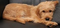 Frede, - The Doodle (heller_dk) Tags: dog perro doodle hund poodle labradoodle hellerdk
