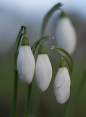 Three in a row (IanAWood) Tags: snowdrops wildflowers hertfordshire galanthus whiteflowers galanthusnivalis commonsnowdrop flowermacros flowercloseups walkingwithmynikon nikkorafsmicro60mmf28g d800e