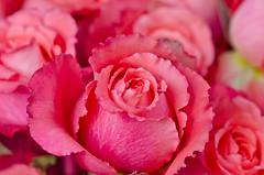 Rose's I like. (Omygodtom) Tags: red portrait abstract flower detail macro art texture nature rose contrast yahoo google nikon flickr dof natural bokeh explorer small mini facebook tamron90mm d7000