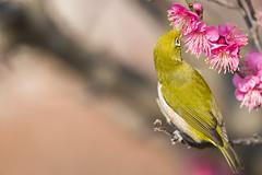 (dpf1089) Tags: flower bird nikon  whiteeye    afsnikkor300mmf4epfedvr