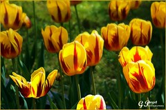 LE PRINTEMPS DES TULIPES - CREATION (Gilles Poyet photographies) Tags: fleurs soe auvergne puydedme clermontferrand autofocus tulipes aplusphoto artofimages parcdemontjuzet rememberthatmomentlevel1