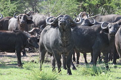Cape Buffalo (Whatchulookinat?!)