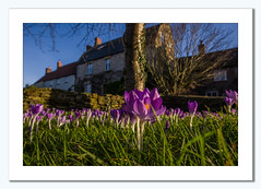 Signs of Spring to come (Travels with a dog and a Camera :)) Tags: uk flowers houses winter england southwest west flower tree art digital buildings walking dc bath village pentax unitedkingdom south north drew sigma somerset crocus andrew east 1020mm bennett ramble febuary stanton k5 lightroom stantondrew 2015 571 andrewbennett 1456 bathandnortheastsomerset biuildings justpentax sigma1020mm1456dc pentaxart pentaxk5 lightroom571