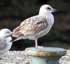 juvenile black backed gull (scouser185) Tags: gulls blackbackedgull