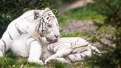 White tiger licking his skin (John van Beers) Tags: france zoo tiger tijger lorraine whitetiger dierentuin bengaltiger amnville wittetijger pantheratigristigris bengaalsetijger hagondange zoodeamnville