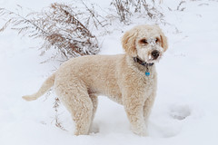 Snow Face (Dalliance with Light (Andy Farmer)) Tags: dog goldendoodle portrait snow winter east brunswick nj