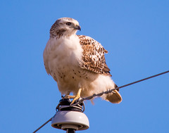 Krider's Red-tailed Hawk (Ruthie Kansas) Tags: