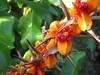 Seeds (Milhafre) Tags: flora seeds azores faial gingerlily hedychiumgardneranum