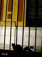 Gatos Sevillanos (Anglica Robles) Tags: espaa sevilla andaluca gatos