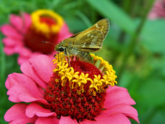 Skipper, Butterfly (Pingyeh) Tags: macro animals closeup fauna butterfly bug insect nikon wildlife