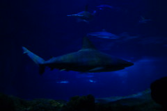 Requin gris (3) (Mhln) Tags: paris aquarium requin poisson trocadero poissons meduse 2015 cineaqua