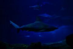 Requin gris (3) (Mhln) Tags: paris aquarium requin poisson trocadero poissons meduse 2015 cineaqua
