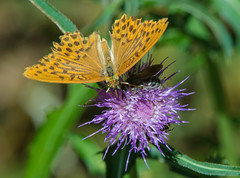 Fritillary On Thistle (aeschylus18917) Tags: danielruyle aeschylus18917 danruyle druyle ダニエルルール ダニエル ルール japan 日本 nature macro insect lepidoptera butterfly 蝶 チヨウ papilionodea fritillary nymphalidae argynnispaphia ミドリヒョウモン silverwashedfritillary 200400mm thistle pxt asteraceae carduoideae cynareae アザミ cirsium