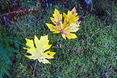 Maple and Moss (Don Thoreby) Tags: forest moss cedar cascades greenway cascademountains cascaderange ironhorsetrail alders cedartrees mountaintosound aldertrees mountaintosoundgreenway