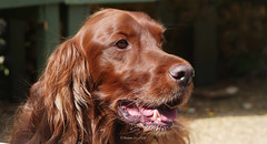 Red Setter (yvonnepay615) Tags: dog lumix panasonic 45mm redsetter coth gh4