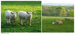 For Myriam (hehaden (away for a week)) Tags: field sussex diptych sheep pasture lambs southdowns southdown