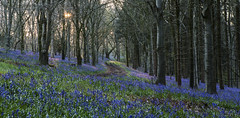 The path through the Bluebell Wood (Nick L) Tags: uk trees bluebells sunrise canon eos woods path dorset 5d canon5d 70200l delcombewoods 5d3 delcombe 70200l28ii canon5d3 canon5dmark3
