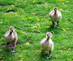 Goslings running. (pstone646) Tags: cute nature animals closeup fauna outdoors kent wildlife running goslings