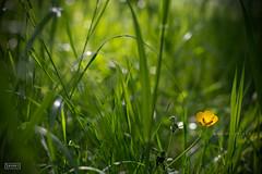 """""""En la luz adecuada, en el momento correcto, todo es extraordinario"""".- Aaron Rose (www.decherry.com) Tags: naturaleza flower luz nature yellow flor amarillo ligth"""