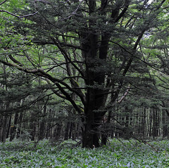 Tokyo Stories #110 (The smiling monkey) Tags: tree japan pine forest de pin bosque di fir pinos pino abete kiefer arbre japon giappone kamikochi sapin tanne foresta japn abeto kamicochi baumwald