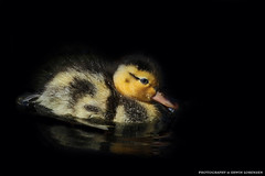 Blubb (Erwin Lorenzen) Tags: bird nature birds animal duck natur duckling elo ente sonne nahaufnahme tier kcken tierfotografie naturaufnahme entenkcken diamondclassphotographer canoneos5dmarkii