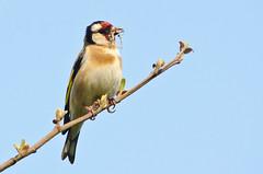 Goldfinch (Michael Adams in Amsterdam) Tags: bird goldfinch