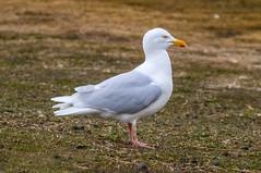 Glaucous gull (Larus hyperboreus) / Hvtmfur (thorrisig) Tags: seagulls bird birds island iceland gulls fugl sland orri thorri dorres mfur dr glaucousgull larushyperboreus fuglar mvur mfar hvtmfur icelandicbirds mvar hvtmvur orfinnur thorfinnur thorrisig orrisig thorfinnursigurgeirsson orfinnursigurgeirsson slenskirfuglar 30042016