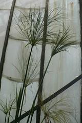 PAS MIEUX... (mistigree) Tags: plante papyrus toulouse serre serresmunicipales