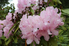 IMG_3011.JPG (robert.messinger) Tags: flowers rhodies