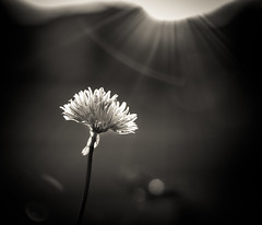 complete obsession (auntneecey) Tags: flower monochrome sunrise mono chive odc