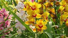 o r c h i d s ( Graa Vargas ) Tags: orchid flower orquidea graavargas cymbidiumxhybridum cimbdio 2016graavargasallrightsreserved 17407020716