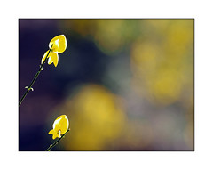 Baladeur en balade (eric_47) Tags: plant flower nature fleur yellow jaune plante bokeh broom genet