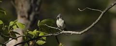 Titmouse (anitabryk2) Tags: birds titmouse