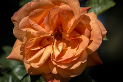 Rosa anaranjada (seguicollar) Tags: madrid flores flower plantas flor rosa naranja vegetal jardn vegetacin parquedelretiro airelibre nikond5200 virginiasegu