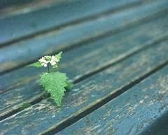 < through the boards in the bench > (Mister.Marken) Tags: woodenbench expiredfilm minimalism analogphotography green flower bench kodak film gold200 nikonfg20 kodakgold