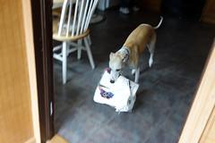 Thief (DiamondBonz) Tags: dog pet paper hound whippet spanky