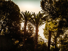 Palms & Pines (Colormaniac too) Tags: morning trees light nature backlight forest palms spain outdoor silhouettes pines andalusia italica palmsandpines distressedtextures